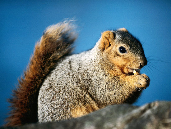 Squirrel: Busy gathering nuts, preparing for the future…