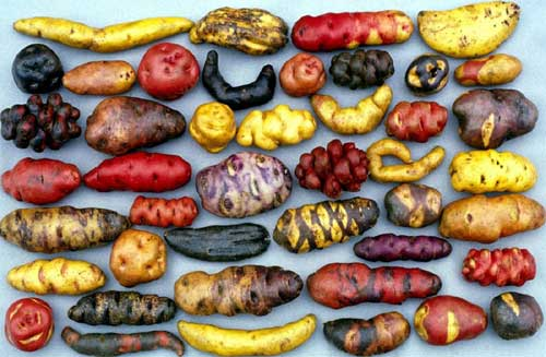 4000 Types Of Potatoes In Peru